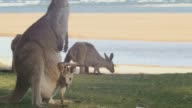 Mother and Joey  Kangaroo Wallaby Marsupial Animal Australia video