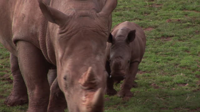 Mother & Baby Rhinos - HD & PAL video