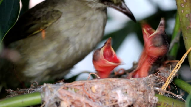 Mother bird Feeding food to new born video