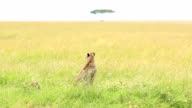 Mother Cheetah and its baby video