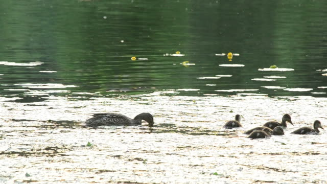 Mother duck with a flock of ducklings in pond video