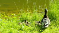 Mother duck with her ducklings on the bank video