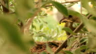 Mother feeding a baby bird in the nest video