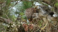 Mother Hawk Flying Into The Nest With a Frog To Feed Her Two Chicks video