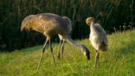 Mother Sandhill Crane and Two Juvenile Chicks Walking Along Pond Edge video