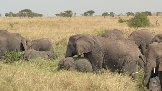 CLOSE UP: Mothers and baby elephants drinking water from river African savannah video