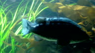 Motion of fish underwater inside fishtank video