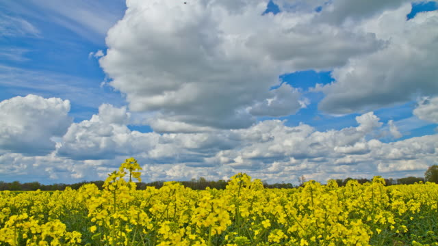 HD Motion Time-Lapse: Amazing Cloudscape Over Canola Field video