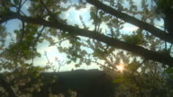 HD Motion Time-Lapse: Blossom Tree At Sunset video