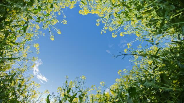 HD Motion Time-Lapse: Canola Plants Against Blue Sky video
