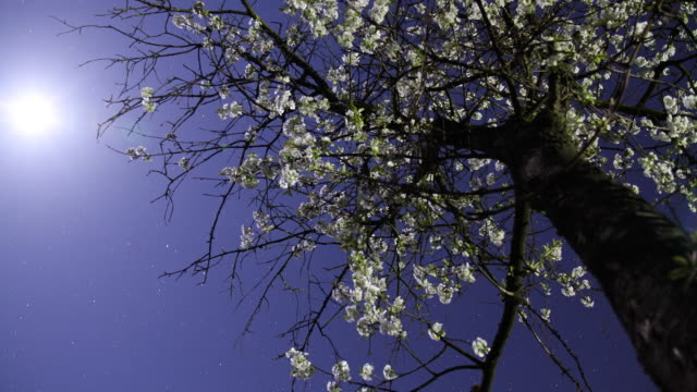 HD Motion Time-Lapse: Cherry Blossom video