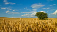 HD Motion Time-Lapse: Cloudscape Over Golden Wheat Field video