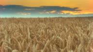 HD Motion Time-Lapse: Golden Wheat Field video