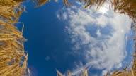 HD Motion Time-Lapse: Golden Wheat Stems Against Cloudscape video