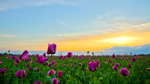 HD Motion Time-Lapse: Poppy Field From Sunset To Night video