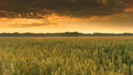 HD Motion Time-Lapse: Spring Wheat At Dawn video