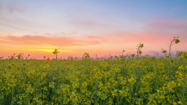 HD Motion Time-Lapse: Sun Rising Over The Canola Field video