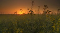 HD Motion Time-Lapse: Tranquil Sunrise In The Canola Field video
