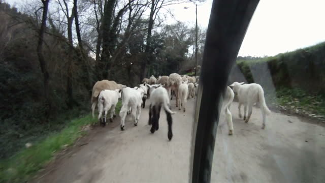 Mountain bike meets flock of sheep video