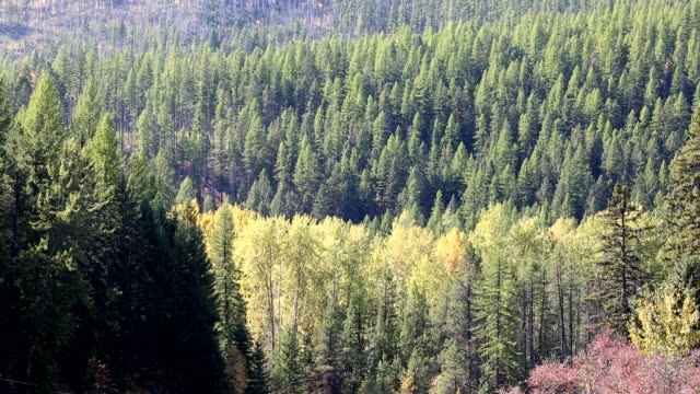 Mountain Birch and Pine Forest with Fall Colors video