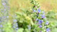 Mountain Blue Veronica Orchidea video