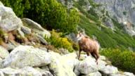Mountain Chamois video
