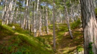 mountain coniferous forest video