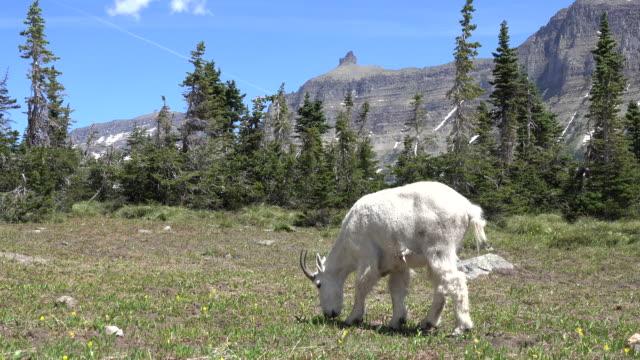Mountain goat grazes Garden Wall meadow Glacier National Park Montana video