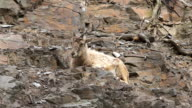 Mountain goat resting on a rocky slope video