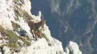 HD: Mountain goat video
