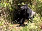 Mountain gorilla silverback pounds chest and charges into bushes video
