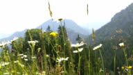 Mountain landscape in Bavarian Alps with colorful flowers in the foreground video