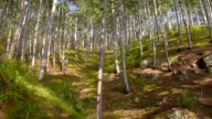 mountain pine forest in bright autumn day video