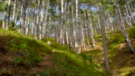 Mountain pine forest in the early morning video