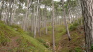 Mountain pine forest video