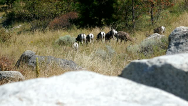 Mountain sheep grazing video