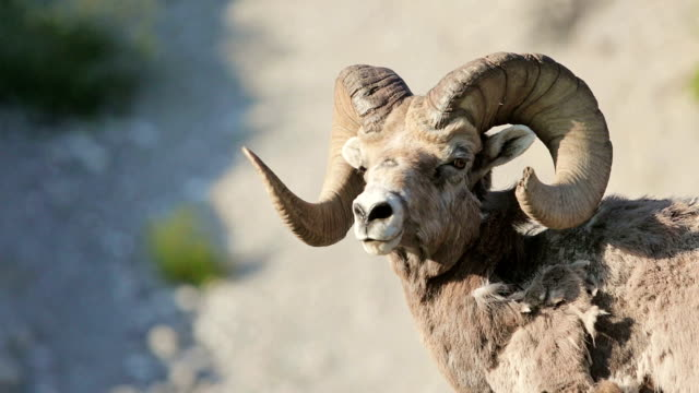 Mountain sheep in the wild video