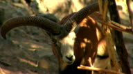 Mountain sheep video