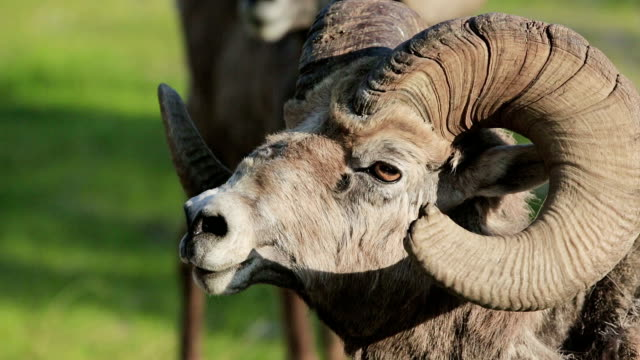 Mountain sheep with broken rack video