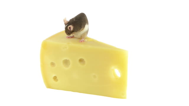 Mouse cleaning itself on a slice of cheese video