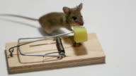 Mouse eating cheese in a mousetrap video