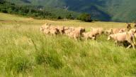 Moutons et chèvres HD - SHEEP video