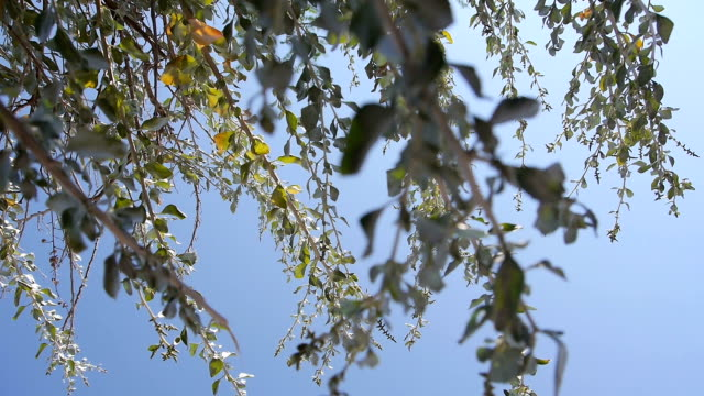 moving along branches with blue sky video