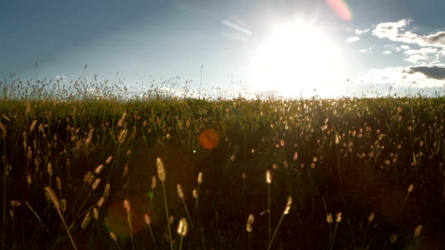 moving along green field with tree and blue sky in summer at sunrise or sunset video