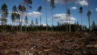 Moving along pine forest clear cut. video