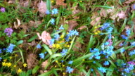 Moving background with blue snowdrops and yellow flowers video