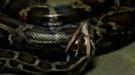 Moving Boa Snake video