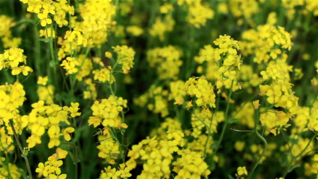 Moving fast through countryside field blooming with yellow rapeseed flowers video