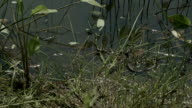Moving grass snake, natrix on pond with duckweed video