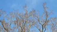 Moving of Bodhi Tree Leafs in blue sky day video